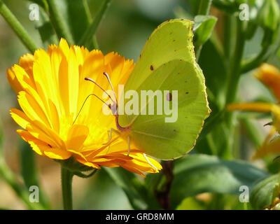Brimstone Butterfly On Marigold Flower, Gonepteryx Rhamni On Calendula Officinalis - Stock Photo