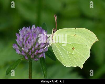 Brimstone Butterfly Gonepteryx Rhamni On Clover Blossom - Stock Photo
