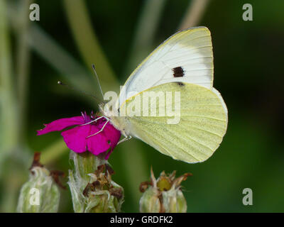 Brimstone Butterfly On A Pink Flower, Gonepteryx Rhamni - Stock Photo