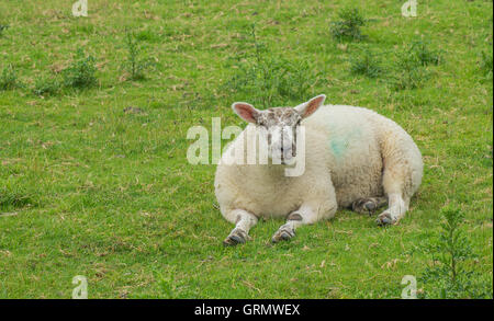 A Sheep lying down staring at the camera with its front legs out in front - Stock Photo