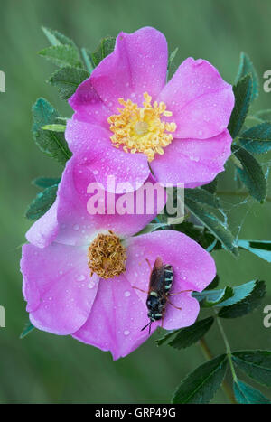 Flower Flies  (Chrysotoxum ypsilon) on Wild Pasture Rose (Rosa carolina), Summer, Michigan USA - Stock Photo
