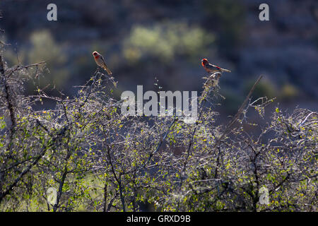 Male and female house finches gathering on bushes along the Arizona Trail in the Black Hills of Arizona. - Stock Photo
