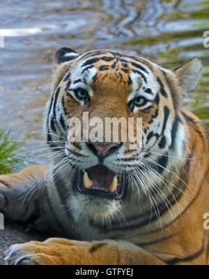 Amur Tiger (panthera tigris altaica) bathing - Stock Photo