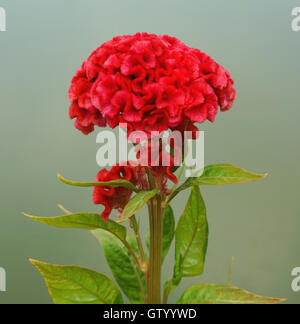 Red cockscomb or chinese wool flower (Celosia argentea) - Stock Photo