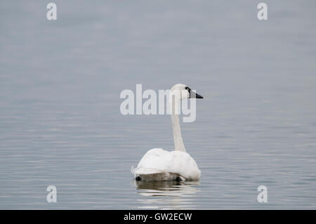 Tundra Swan (Cygnus columbianus) on a migratory stop at Tule Lake National Wildlife Refuge, Northern California - Stock Photo