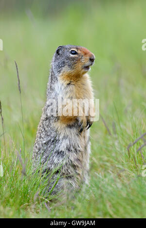 Columbian Ground Squirrel - Urocitellus columbianus - Stock Photo