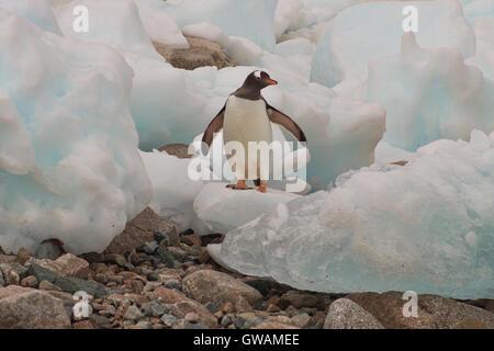 A Gentoo Penguin surveys the global warming in Antartica - Stock Photo