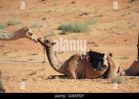 Kiss between two camels in the desert. Image taken in Wahiba Sands desert, the main Omani desert. - Stock Photo