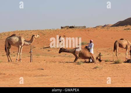 Camel in the desert. Image taken in Wahiba Sands desert, the main Omani desert. - Stock Photo
