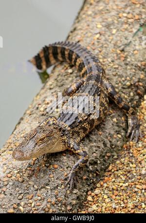 Baby alligator resting on a sandy bank. - Stock Photo