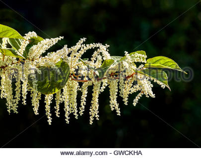 Fallopia japonica, Reynoutria japonica, Asian knotweed, Japanese knotweed, invasive, plant, Rouge National Urban - Stock Photo