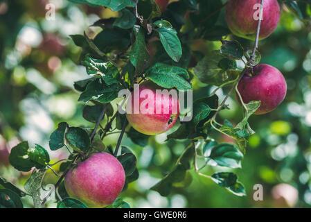 Fresh red harvest apples on tree branch in garden - Stock Photo