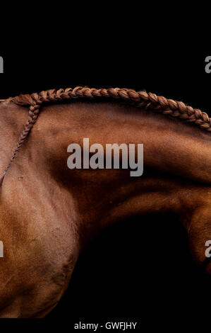 Hojbaks Paztinak, Frederiksborg stallion, displays the profile of a perfectly toned neckline and plaited mane. - Stock Photo