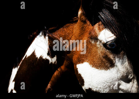 Paint mustang stallion portrait - Stock Photo