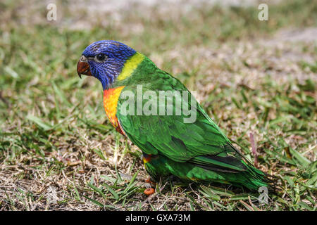 Juvenile brightly coloured rainbow lorikeet, first day out of nest. Australian native bird. - Stock Photo