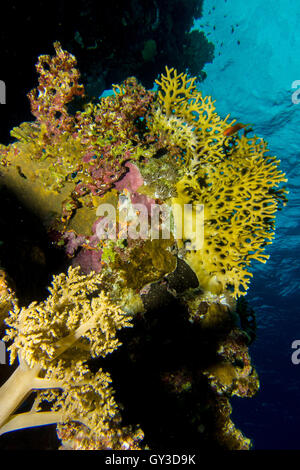 Soft corals in the red sea - Stock Photo