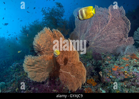 Sunburst (Klein's) butterflyfish feed on brightly colored orange and pink sea fans on coral reef in Raja Ampat, - Stock Photo