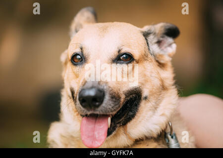 Close Up Of Funny Medium Size Mongrel Mixed Breed Short-Haired Yellow Adult Female Dog With Tongue In Collar On - Stock Photo