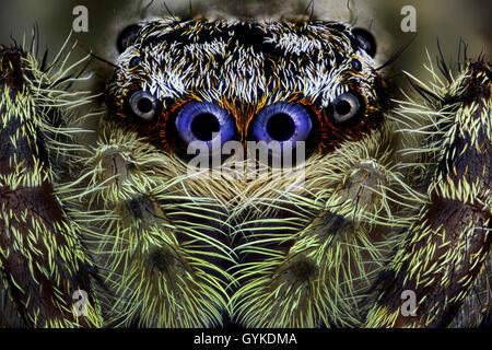 Springspinne, Spring-Spinne (Salticidae), Portraet | Jumping spider (Salticidae), portrait | BLWS418982.jpg [ (c) - Stock Photo
