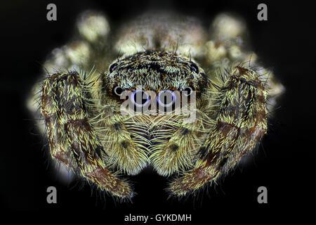 Springspinne, Spring-Spinne (Salticidae), Portraet | Jumping spider (Salticidae), portrait | BLWS418987.jpg [ (c) - Stock Photo