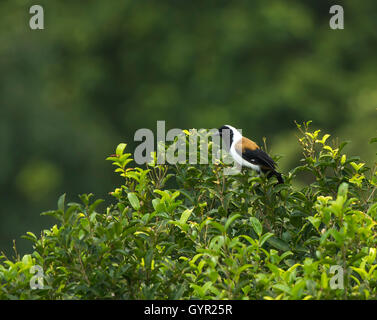 The collared treepie, black-faced treepie or black-browed treepie (Dendrocitta frontalis) is an Asian treepie - Stock Photo