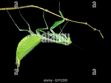 Neotropical Praying Mantis (female), Mantises family (Mantidae), Amazon rainforest, Canande River Reserve, Choco - Stock Photo