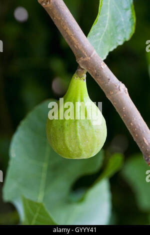 Ficus carica. Developing fig fruit growing outdoors. - Stock Photo