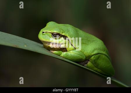 European tree frog (Hyla arborea) sitting on leaf, Burgenland, Austria - Stock Photo