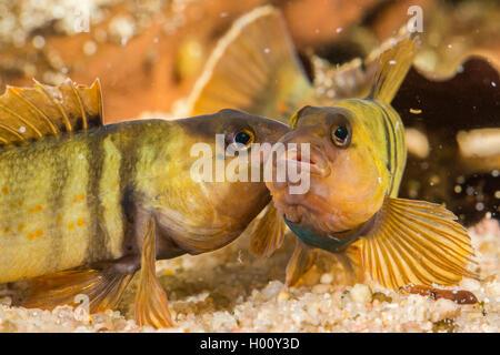 Blaubrust-Springbarsch, Blaubrustspringbarsch (Etheostoma camurum), rivalisierende Maennchen | Bluebreast Darter - Stock Photo