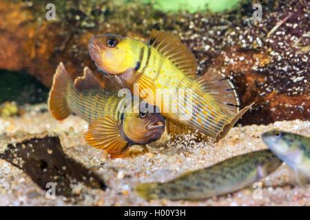 Blaubrust-Springbarsch, Blaubrustspringbarsch (Etheostoma camurum), rivalisierende Maennchen mit Weibchen | Bluebreast - Stock Photo