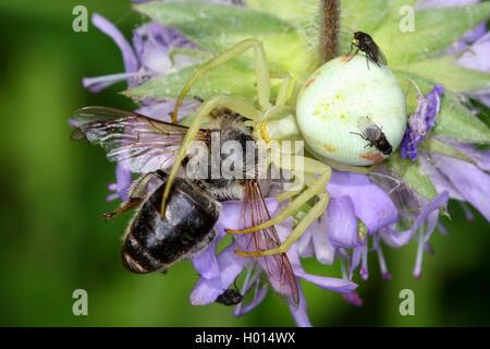 Veraenderliche Krabbenspinne, Veraenderliche Krabben-Spinne (Misumena vatia), mit Beute, Oesterreich | goldenrod - Stock Photo