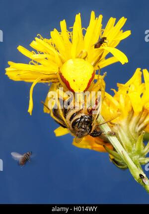 Veraenderliche Krabbenspinne, Veraenderliche Krabben-Spinne (Misumena vatia), mit Beute auf einem gelb bluehenden - Stock Photo