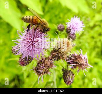 Acker-Kratzdistel, Ackerkratzdistel, Ackerdistel, Acker-Distel (Cirsium arvense), mit Honigbiene, Deutschland | - Stock Photo