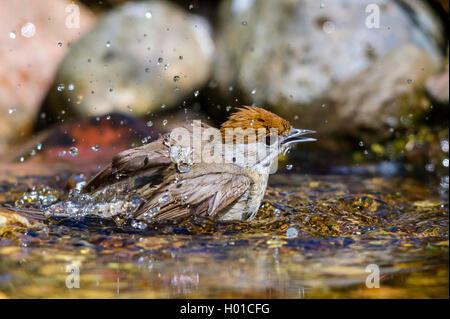 Moenchsgrasmuecke, Moenchs-Grasmuecke (Sylvia atricapilla), Weibchen badet im Bach, Deutschland, Mecklenburg-Vorpommern - Stock Photo