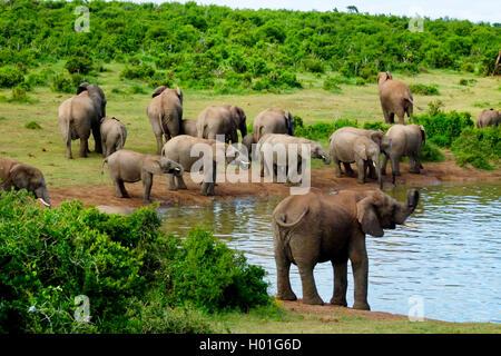 Afrikanischer Elefant (Loxodonta africana), Herde am Wasser, Suedafrika   African elephant (Loxodonta africana), - Stock Photo