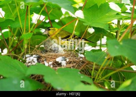 Erlenzeisig, Erlen-Zeisig (Carduelis spinus), Maennchen am Nest mit Jungen, Deutschland, NRW, Bielefeld-Sennestadt - Stock Photo