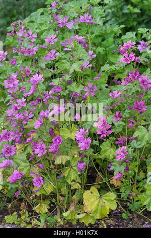 Wilde Malve (Malva sylvestris), bluehend, Deutschland | common mallow, blue mallow, high mallow, high cheeseweed - Stock Photo