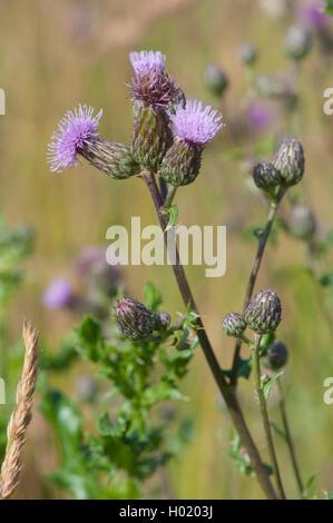 Acker-Kratzdistel, Ackerkratzdistel, Ackerdistel, Acker-Distel (Cirsium arvense), bluehend, Deutschland | Canada - Stock Photo