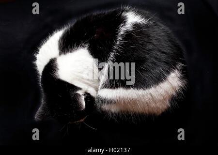 Hauskatze, Haus-Katze (Felis silvestris f. catus), zusammengerollte schwarzweisse Hauskatze | domestic cat, house - Stock Photo