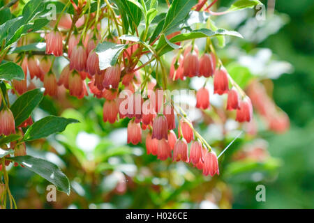 Prachtglocke, Glockige Prachtglocke, Red Bells (Enkianthus campanulatus 'Red Bells', Enkianthus campanulatus Red - Stock Photo