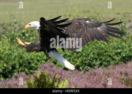 American Bald eagle (Haliaeetus leucocephalus) in flight, incoming for landing, talons outstretched - Stock Photo