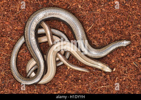 Male and female slow worm (Anguis fragilis) - Stock Photo