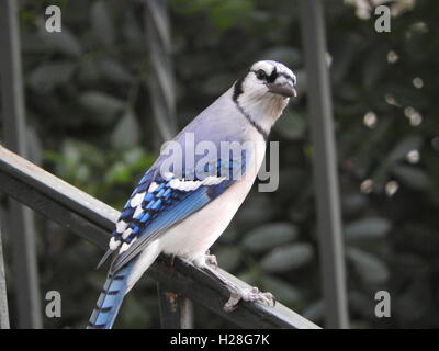 A blue jay (Cyanocitta cristata) perches on a branch. - Stock Photo