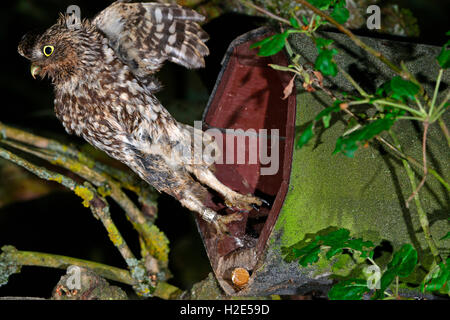 Little Owl (Athene noctua). Adult leaving artifical nesting aid. Germany - Stock Photo
