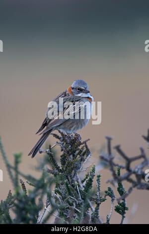 Rufous-collared Sparrow Zonotrichia capensis male Patagonia Chile - Stock Photo
