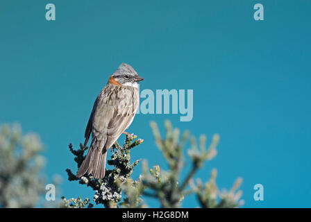 Rufous-collared Sparrow Zonotrichia capensis male Patagonia Chile - Stock Photo