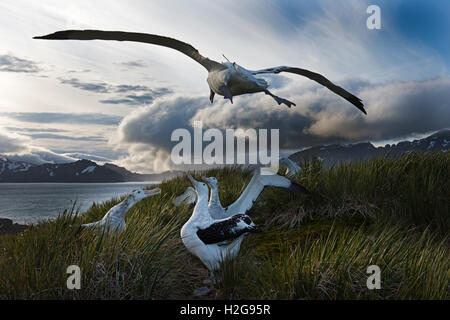 Wandering Albatross Diomeda exulans a pair displaying at dusk on Albatross Island South Georgia - Stock Photo