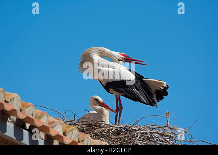 White Stork Ciconia ciconia pair displaying at nest on cathedral Alfaro Spain - Stock Photo