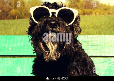 Black Miniature Schnauzer with sunglasses - Stock Photo