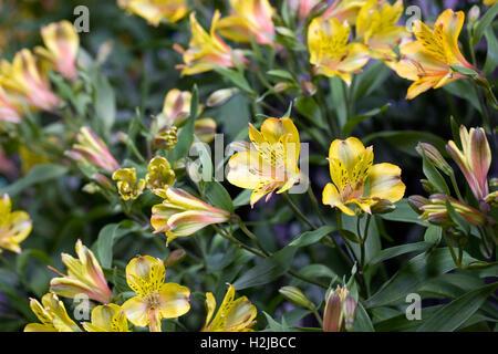 Alstroemeria 'Senna Golden' flowers. Peruvian lily. - Stock Photo